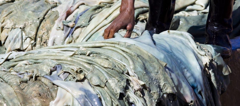 Den blåaktiga tonen får hudarna av det kromsalt som används som garvämne när hudarna garvas. Foto: Max Ferrero